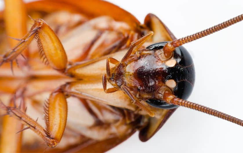 Cerca de la cabeza de cucaracha