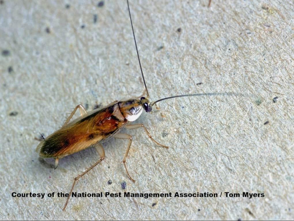 Una cucaracha de bandas marrones está tirada en el suelo