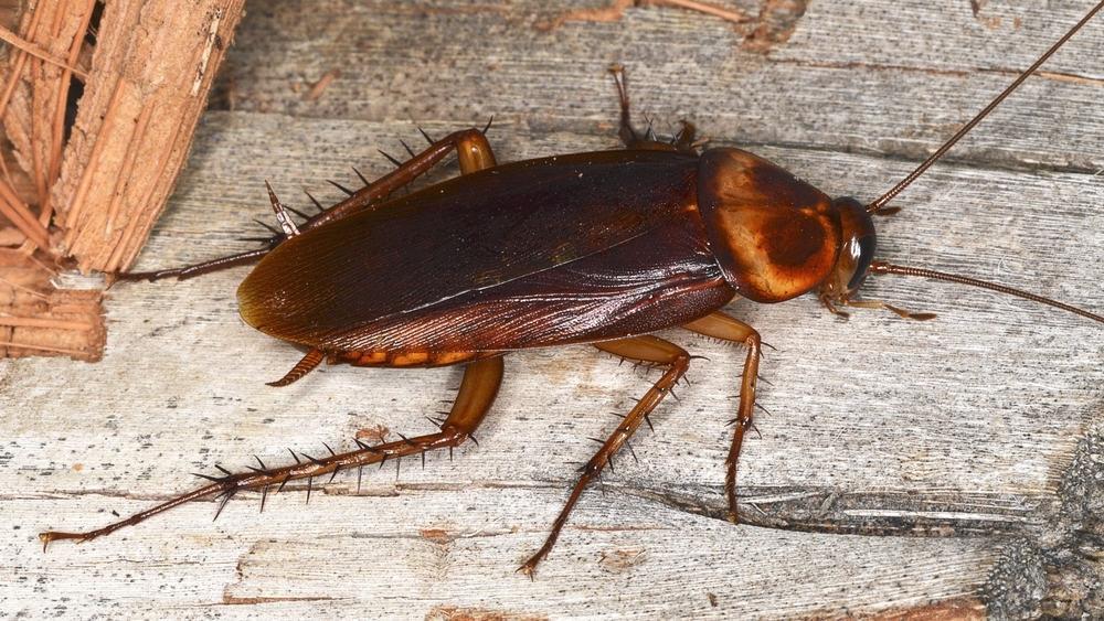 La gran cucaracha americana está tirada en el suelo de madera