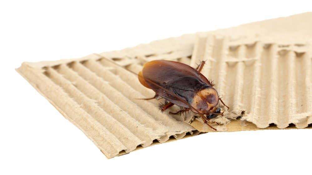 Primer plano de una cucaracha