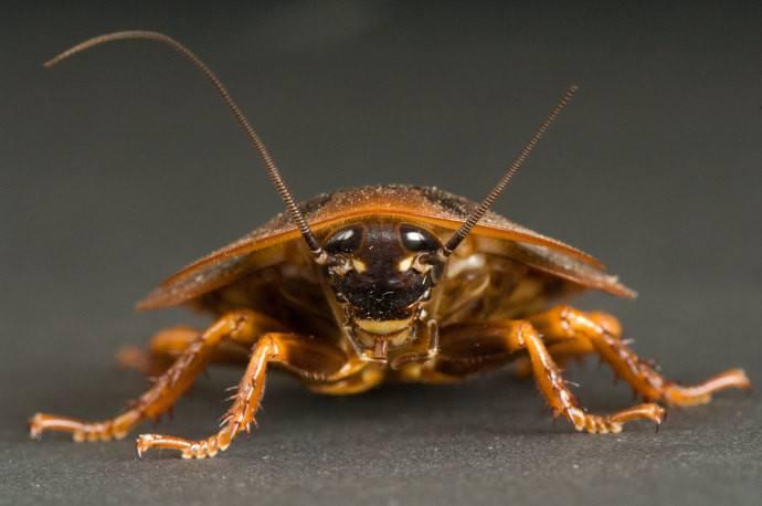 34 Increíbles Datos de la Cucaracha (Secretos) que Quieres Escuchar