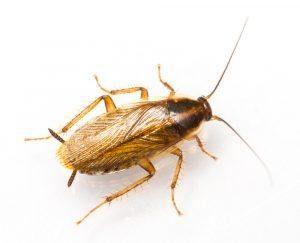 Alemán cucaracha en fondo blanco