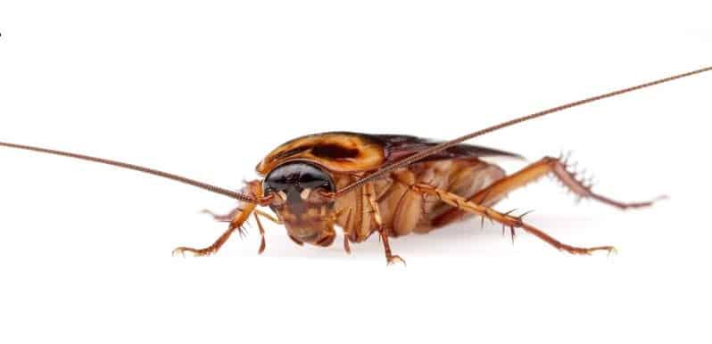Primer plano de la cabeza de una cucaracha americana