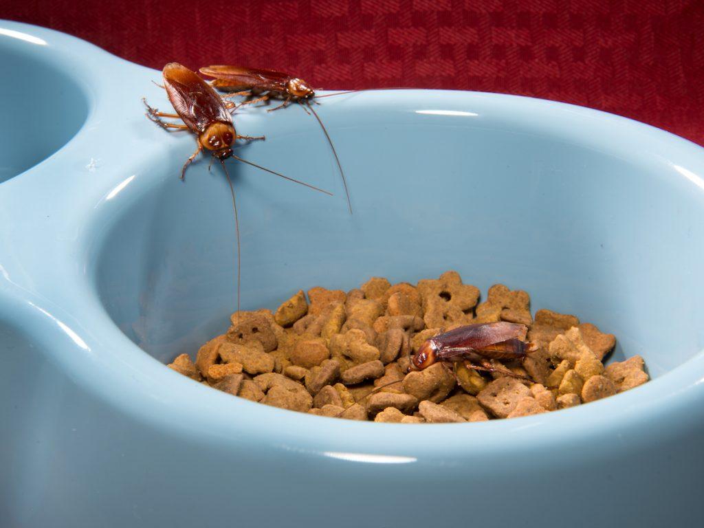 Tres cucarachas americanas están subiendo a un tazón que está lleno de galletas