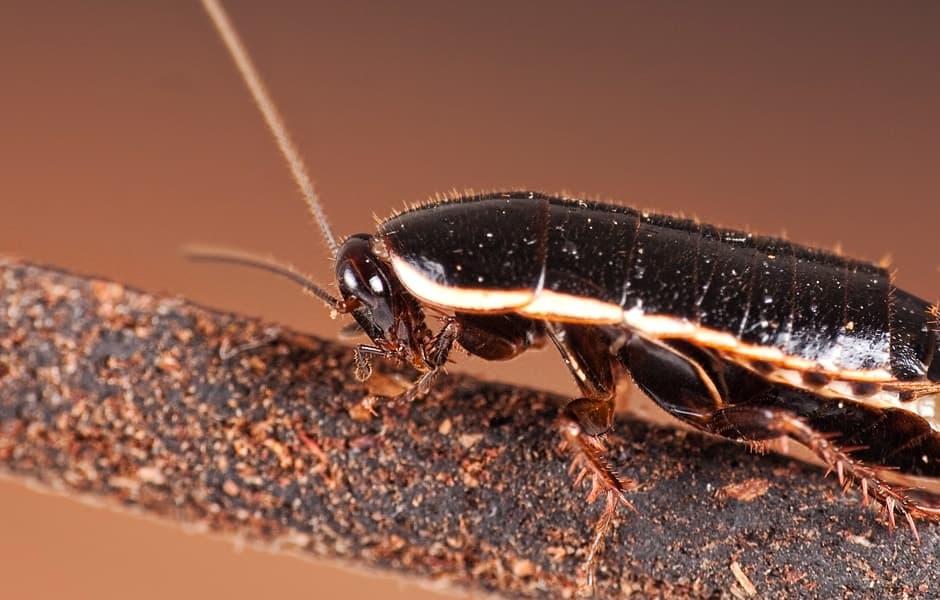 Cerca de oriental cucaracha en un rama