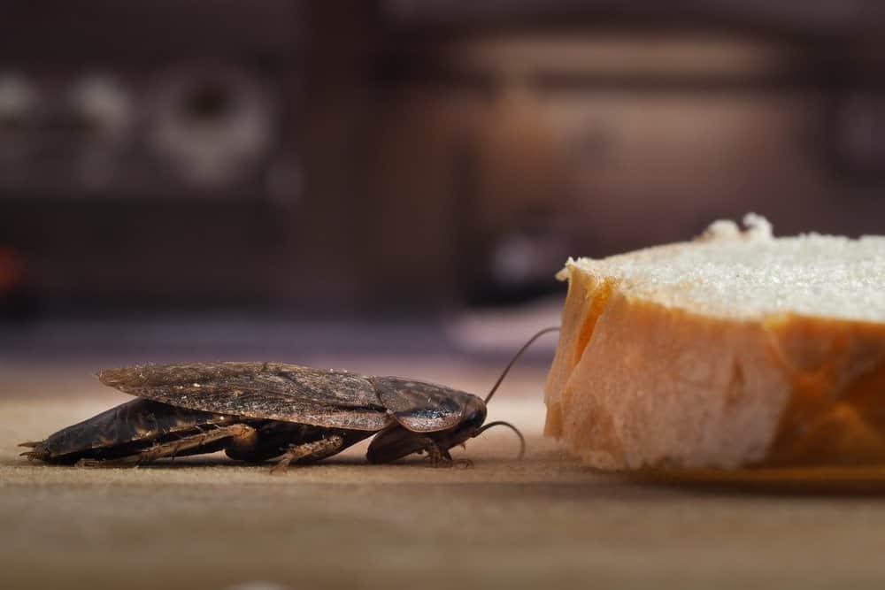 Usando una trampa de pan para atraer cucaracha