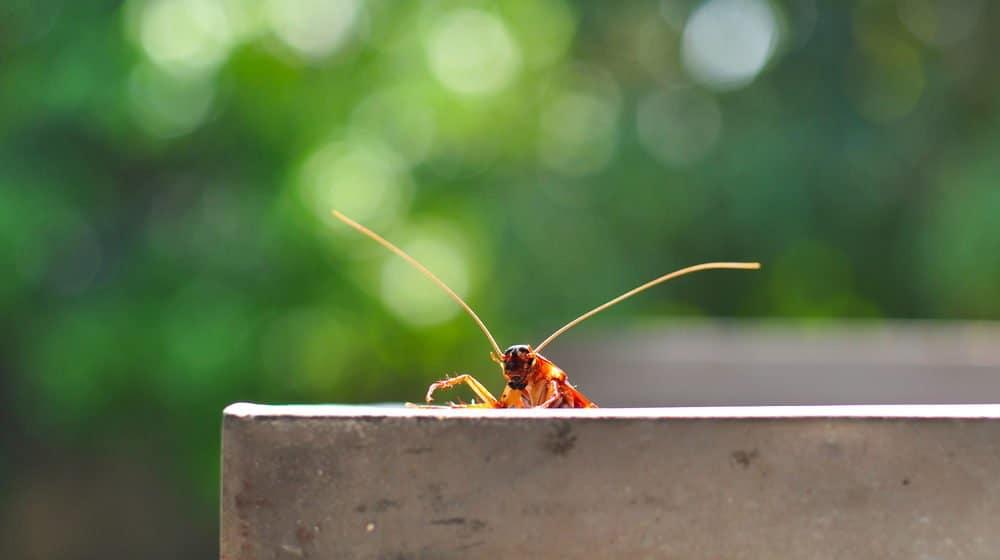 Todo lo que Necesitas Saber sobre las Cucarachas de Bandas Marrones