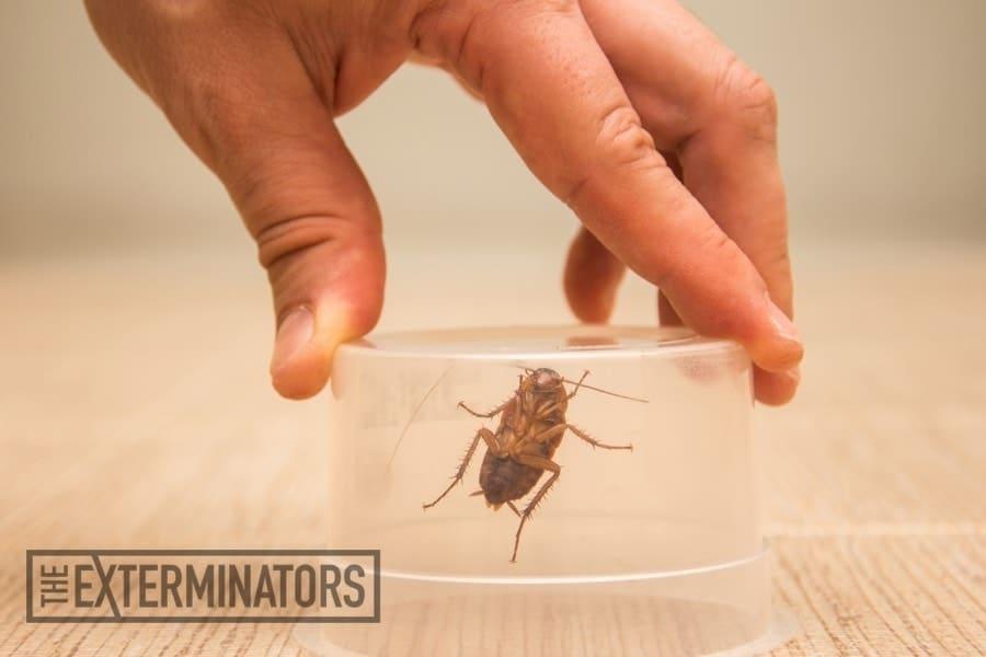 Un hombre está usando botella de vidrio para atrapar a una cucaracha