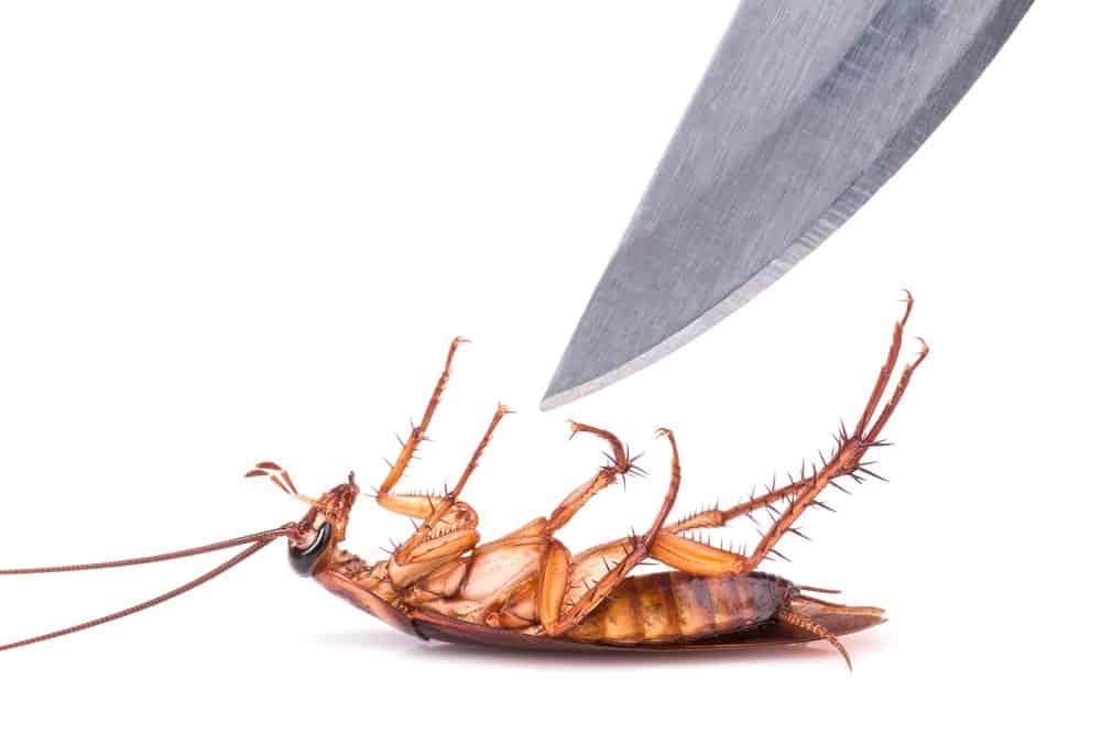 Un cuchillo está a punto de matar a una cucaracha en el fondo blanco
