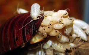 Cucarachas bebé saliendo