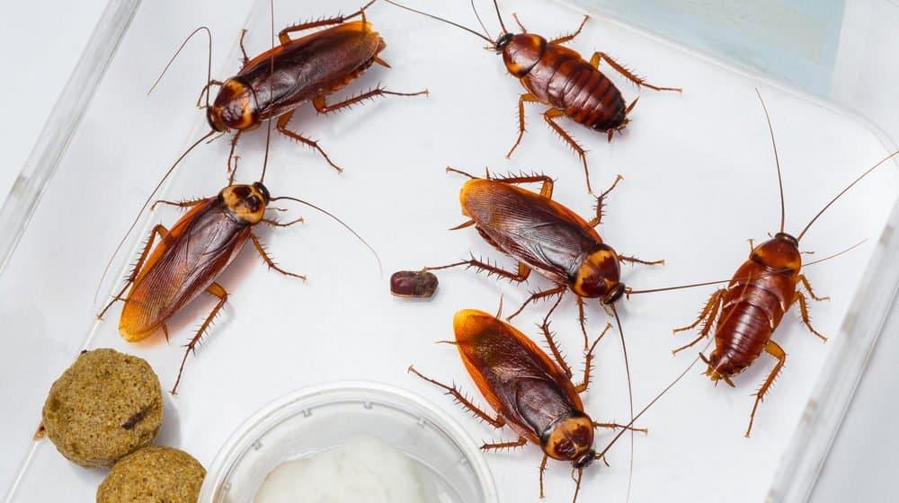 Un montón de cucarachas americanas en el fondo blanco