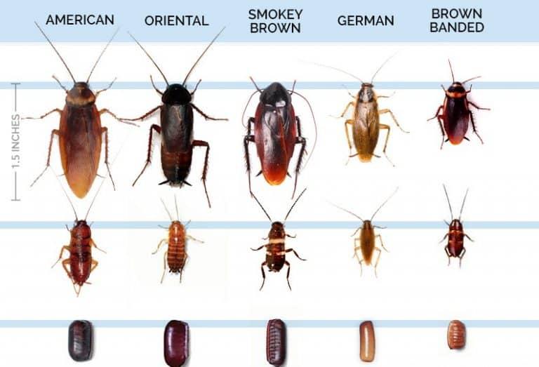 Diferentes tipos de cucarachas