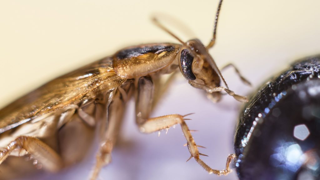 Un tiro cercano de una cucaracha alemana