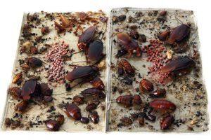 Cucarachas atrapadas en la trampa de cucarachas pegajosas después de atraído al cebo de feromona