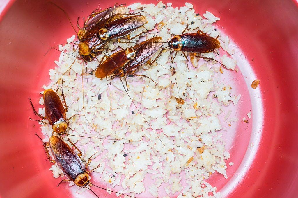 Un montón de cucarachas americanas están comiendo arroz en una olla