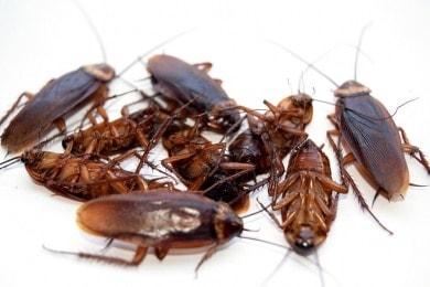 Cucarachas orientales muertas en el suelo
