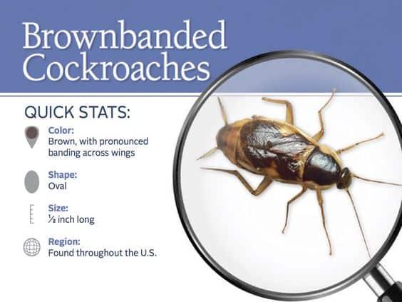Información detallada sobre cucarachas de bandas marrones