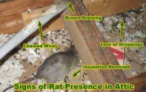 Destrucción causada por ratas