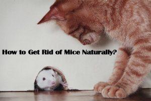 Cómo Deshacerse de los Ratones Naturalmente: 3 Repelentes Naturales y 1 Disuasión Mortal