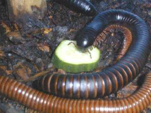 Milípedo gigante está comiendo rodajas de pepino