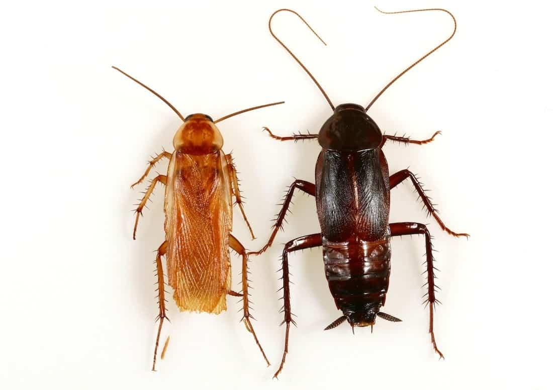 Las Mejores Formas de Identificación Eficaz de Bichos de Agua y Cucarachas