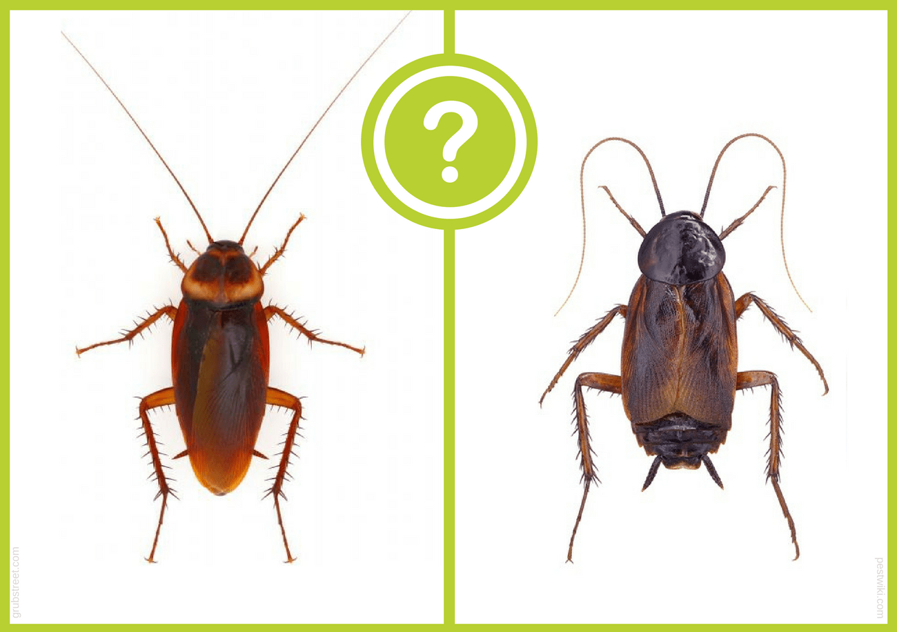Bicho de Agua vs Cucaracha: una Guía Completa (4 Formas de Deshacerse de ellos)