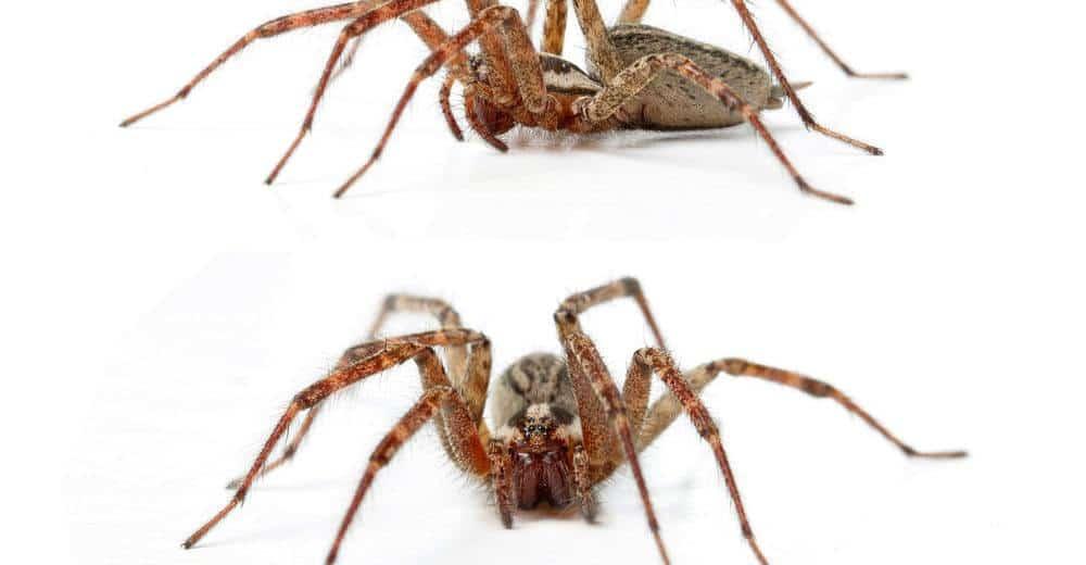 Cómo Identificar Arañas de Hobo y Tratar Mordeduras de Hobo