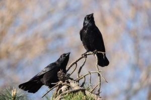 Dos cuervos descansando en el árbol