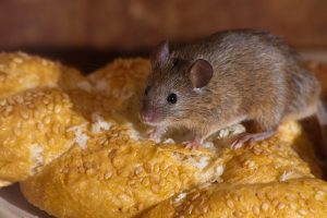Un ratón está comiendo pan en la cocina