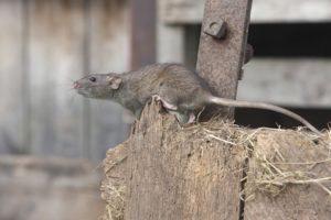 La rata noruega está subiendo fuera de la granja
