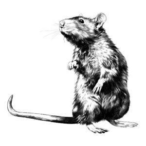 Rata de techo en las patas traseras es boceto blanco y negro