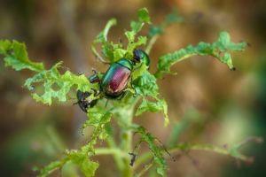 Escarabajo descansando en hoja