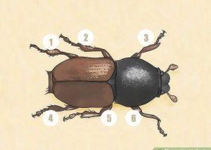 Identificar pasos de escarabajos