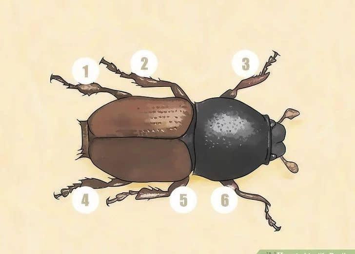 Escarabajos: 4 Consejos y 8 Pasos para Ayudarle a Identificarlos