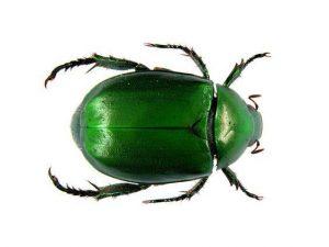 solo escarabajo sobre fondo blanco