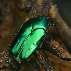 Escarabajo verde en el bosque
