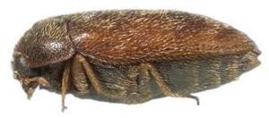 Escarabajo Kharpa sobre fondo blanco