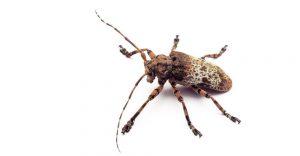 Escarabajo Longhorn aislado en el blanco.