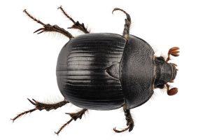 Escarabajos Negros: Hechos, Daños, Causas y Medidas de Seguridad