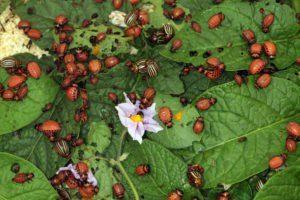 Primer plano escarabajo de patatas de Colorado y larvas en las hojas verdes de las patatas en la luz solar del jardín.