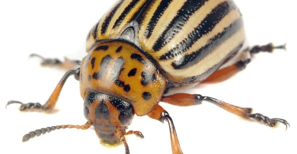 Escarabajo de Patata de Colorado: Datos de Interés y Cómo Deshacerse de Ellos