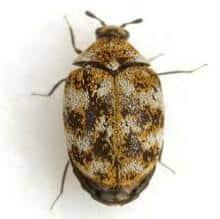 Escarabajo de alfombra sobre fondo blanco