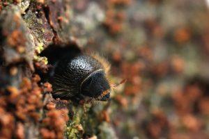escarabajo de corteza única en la naturaleza