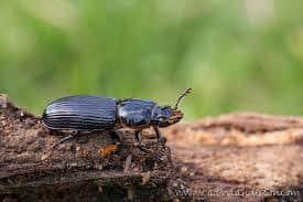 Escarabajo de cuero u Ocultar Escarabajo