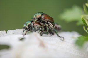 Dos escarabajos japoneses apareándose en los pétalos de una rosa blanca de Sharon.