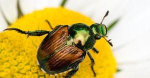 Control de Escarabajos Japoneses: 3 Instrucciones y 3 Medidas de Control