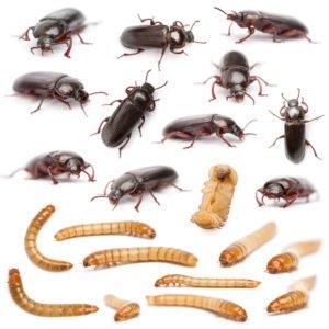 Ciclo de vida del escarabajo oscuro en el blanco.