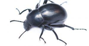 Escarabajo Oscuro: Información Básica Más 5 Datos Divertidos y 3 Formas de Controlarlos