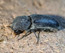 Escarabajo poste en polvo en la arena