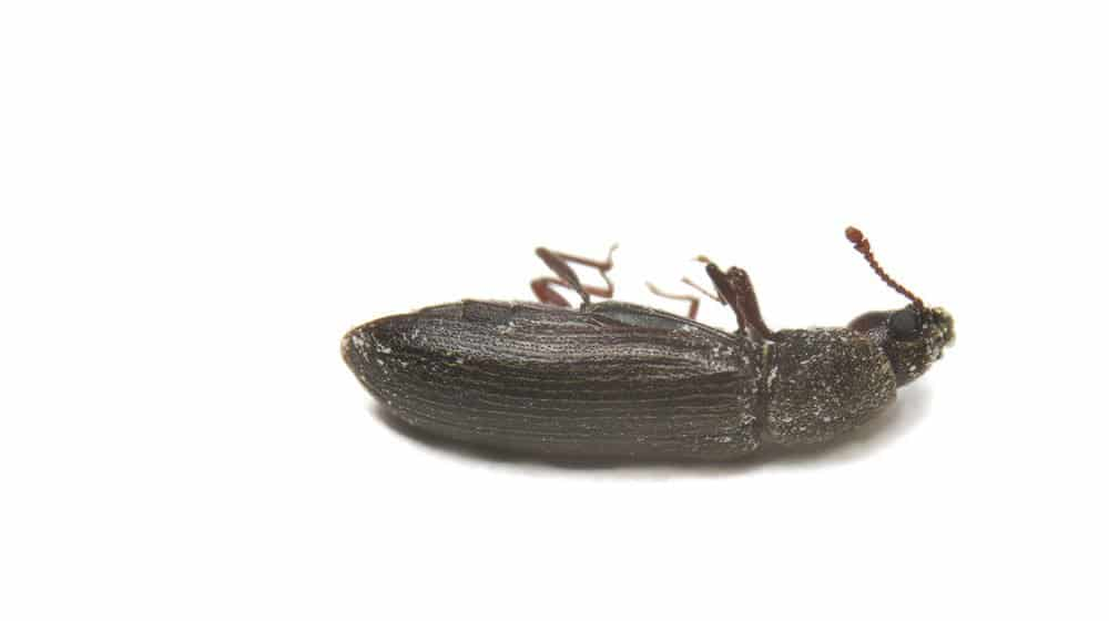 La Amenaza de los Escarabajos Postreros en Polvo y Cómo Controlarla